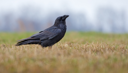 Joyful Common Raven posing in the field with short grass at spring