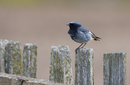Male Black Redstart with short tail feathers perched on an old wooden fence Stock Photo