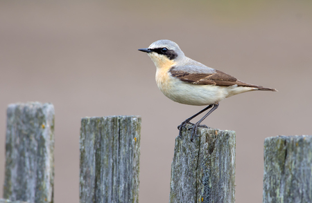 Male Northern Wheatear on the old wooden garden fence in spring