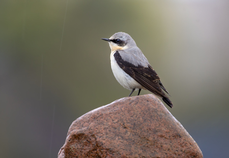 soppy: Male Northern Wheatear stands on top of rock in rainy weather conditions