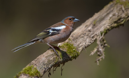 Common Chaffinch perched on old looking mossy branch