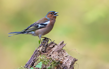 Male Common Chaffinch sings with fervent and passionate mood on an aged stub Stock Photo