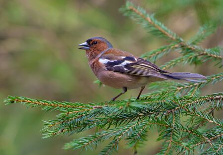 Common Chaffinch fully posing on a green fir branch in a forest Stock Photo