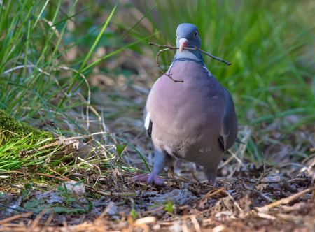 Common wood pigeon proudly walking with a small branch in beak Stock Photo