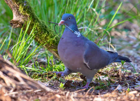 Common wood pigeon proudly walks with a little twig in its beak