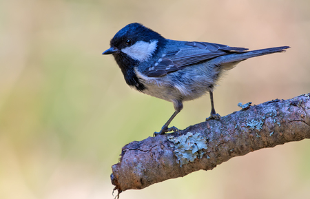 Shining Coal Tit perched on lichen encrusted branch