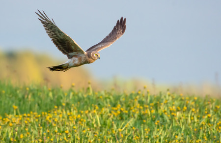 Second year Hen Harrier flying over the blossoming field