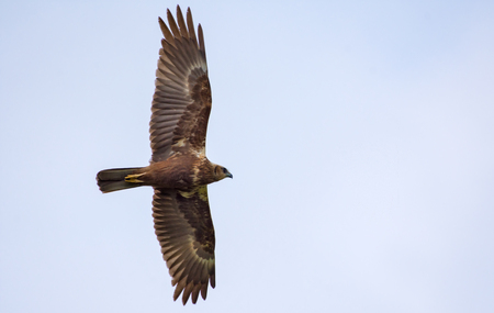 Young Western Marsh Harrier soaring in the sky Stock Photo