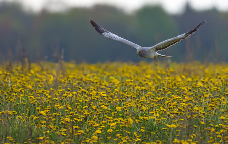 raptorial: Adult male Hen Harrier flying through the blossoming field of blowballs Stock Photo