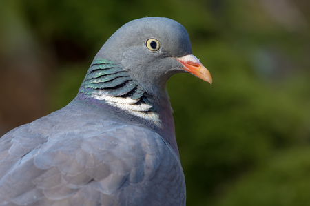 Common wood pigeon very close portrait with detailed face and eyes
