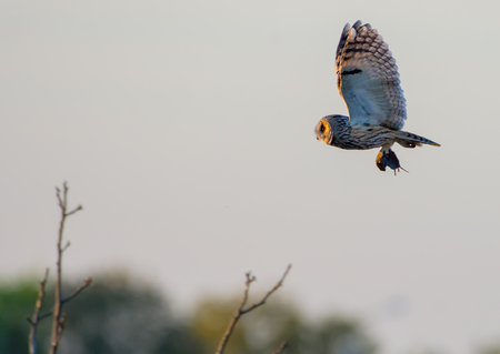 Long-eared owl flies with captured mouse in claws at the sunset