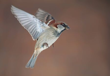 Male House Sparrow in flight with stretched wings at winter