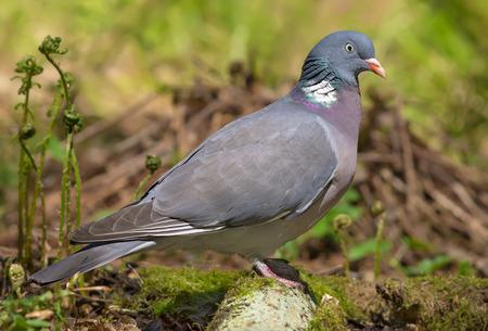 Pigeon bois commun se dresse sur une vieille branche moussue