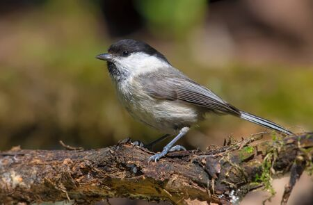 Willow Tit posing on a curvy branch