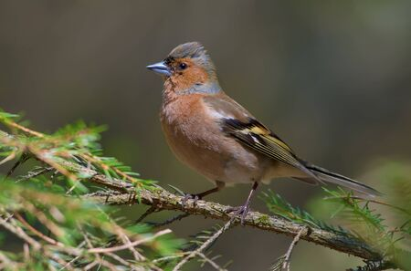 Male Common Chaffinch posing on a green fir branch in a forest Stock Photo
