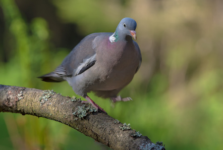 Common wood pigeon walking and balancing on a lichen branch with lifted leg