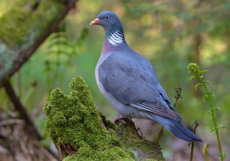Common wood pigeon gracefully standing on an aged mossy stump in sweet lighten fern forest