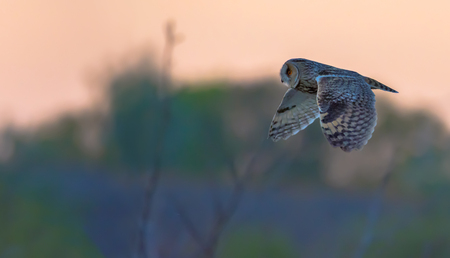 Long-eared owl in flight at the sunset Imagens
