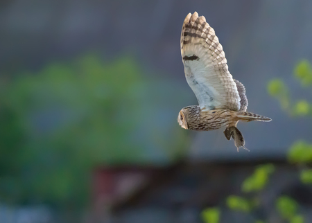 Long-eared owl flies with captured vole in claws at the sunset 스톡 콘텐츠