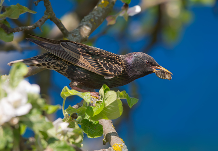 Common starling perched on blossoming apple tree with chafer in beak