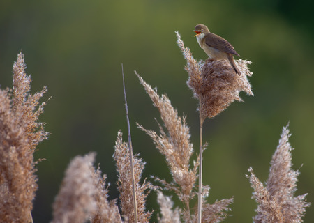 Marsh warbler sings perched on a reed canes Stock Photo