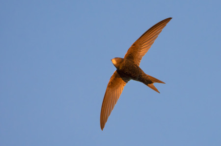 Common swift in flight at the sunset