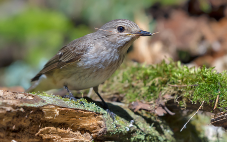 Spotted Flycatcher collects little twigs and sprigs for nest building