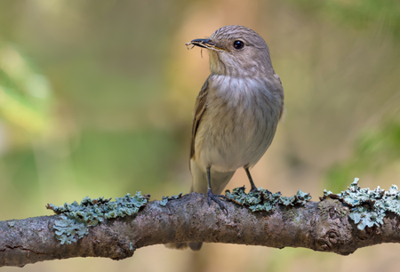 Spotted Flycatcher on a lichen covered branch with a little canes in its beak
