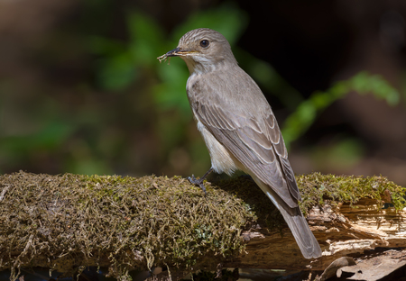Spotted Flycatcher sits on big mossy branch with a little twig for nest in dark forest