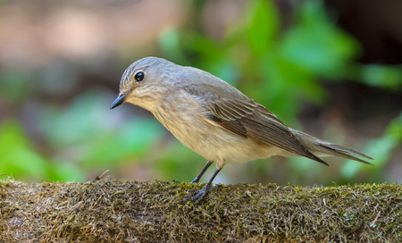 Spotted Flycatcher funny look while perched on a mossy stump in forest