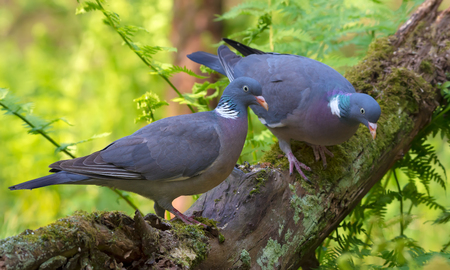 Family Pair of Common wood pigeons sits together on a big mossy branch with ferns