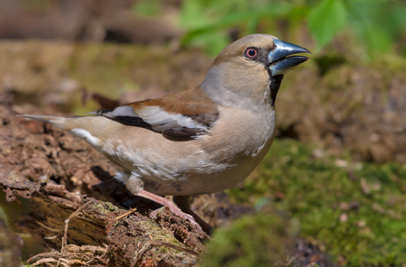 Female Hawfinch drinks water posing near a mossy pond in spring Stock Photo