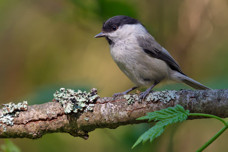 Willow Tit simple posing on an old lichen branch Stock Photo