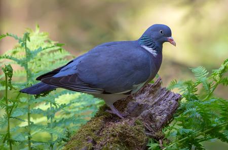 Pigeon des bois commun perché sur le dessus du stock moussu entre les fougères