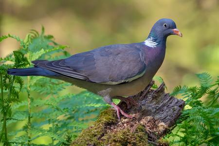 Pigeon de bois commun lumineux perché sur une branche ancienne avec de la mousse et des fougères en forêt