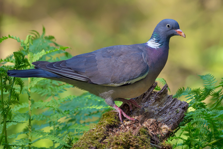 Bright colored Common wood pigeon perched on old branch with moss and ferns in forest