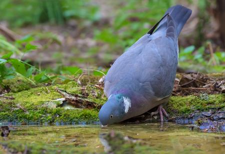 Assoiffé pigeon ramier l'eau potable à l'étang de la forêt sans laisser sa tête