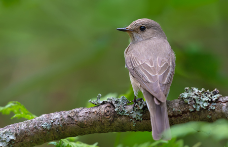 Melancholy Spotted Flycatcher perched on old lichen branch back view
