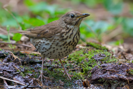 Song thrush stands on the forest ground close shot