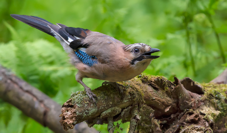 Eurasian Jay strange posing with open beak on old mossy stump Stock Photo