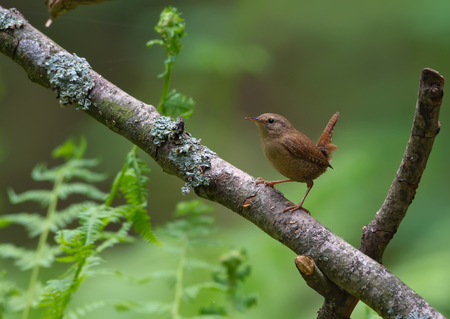 Minimalistic Eurasian wren perched on old branch with ferns in the background Stock Photo