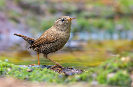 Eurasian wren sitting and posing near a water pond