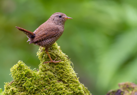 Eurasian wren gracefully stands on top of very green mossy stump in sweet lighted forest