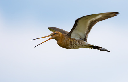 Black-tailed godwit flying and crying very loudly Stock Photo