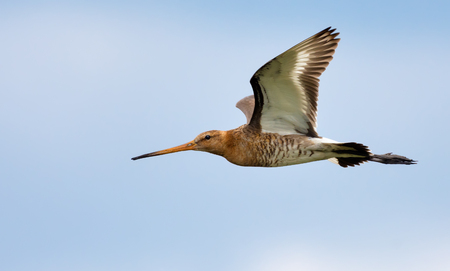 Black-tailed godwit flies near with open wings and side view Stock Photo