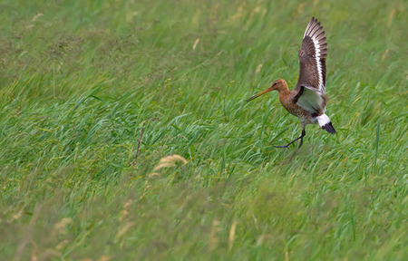 Black-tailed godwit in a grassy field with lifted wings and lowered legs