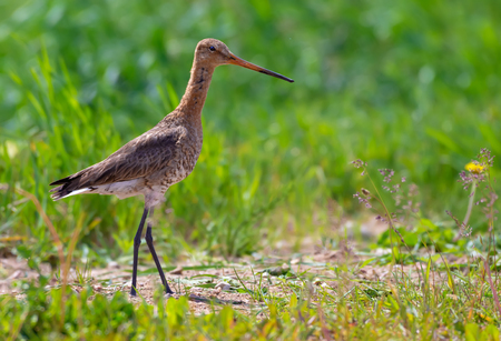 Black-tailed godwit walks on the field