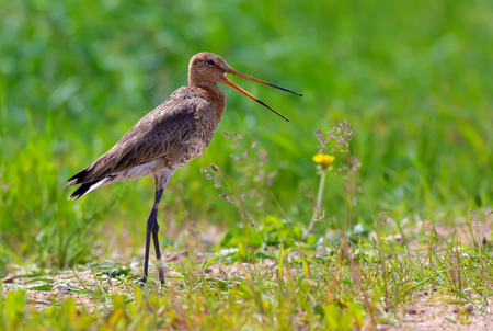 Black-tailed godwit shouts at open space in green meadows