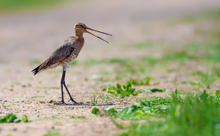 Black-tailed godwit cries and alerts on the road Stock Photo