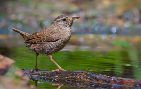 Joyful Eurasian wren posing near a water pond with lifted tail